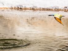 Toni\'s rainbow bee-eater