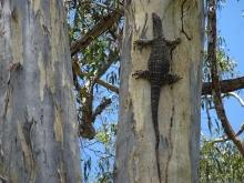 goanna on eucalypt