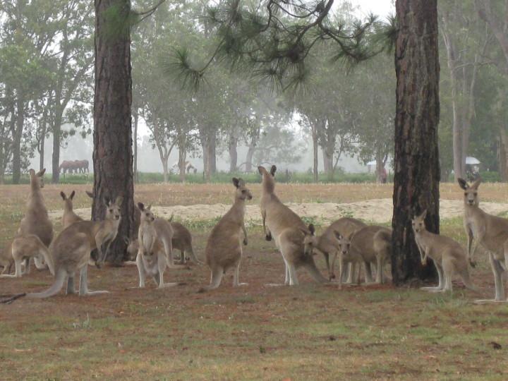 Kangaroo Spectators at Mareeba Golf Club