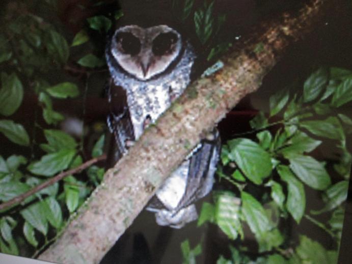 Lesser Sooty owl